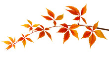 Branch Of Colorful Autumn Leav...