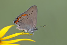 Coral Hairstreak Perched On A Black-eyed Susan Petal