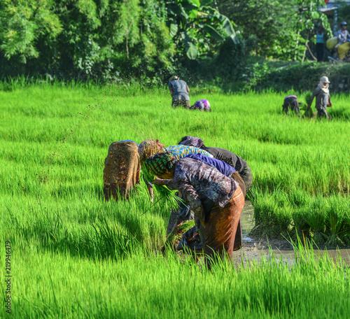 Foto auf Gartenposter Reisfelder Farmers working on rice field
