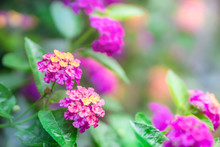 Close Up Beautiful Purple Lantana Camara Flower Blooming In A Garden In Spring Season