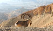 Nubian Ibex (Capra Nubiana Sin...