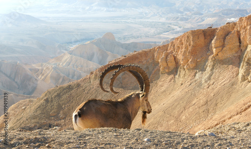 Nubian ibex (Capra nubiana sinaitica)  in Sde Boker. Old male on background of misty mountains. Negev desert of southern Israel