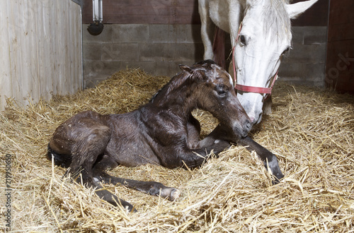 Fotomural Foal birth in the horse stable