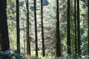 Wald imMorgenlicht