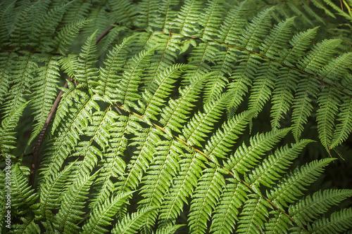 Pteridium aquilinum fern - Top view