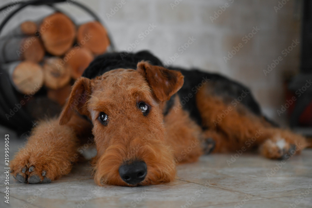 Fototapety, obrazy: Airedale Terrier dog (puppy 8 month old), in the interior of the house (by the fireplace and woodpile)