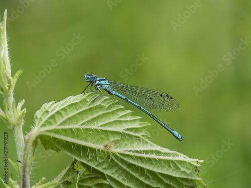 Makroaufnahme einer kleinen blaue Libelle. Diese sitzt auf einen grünen Blatt vor neutralen Hintergrund.