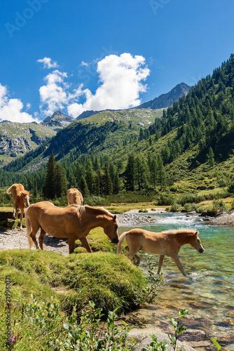 Photo  Horses in National Park of Adamello Brenta - Italy