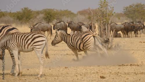 Tuinposter Zebra Zebra 8