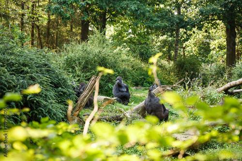 Fotografía Western lowland gorillas
