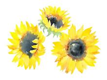 Watercolor Sketch Of Three Sun...