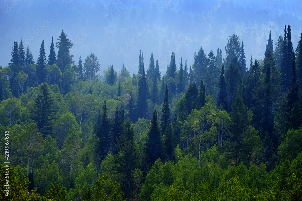 Fototapety, obrazy: Forest of Pine Trees in Mountains Landscape Lush Green Growth Foliage