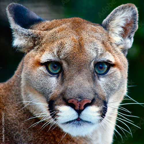 Cadres-photo bureau Puma Mountain Lion Looking at You