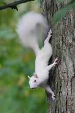 Albino Squirrel Posing