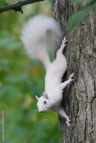 Fotografie, Obraz Albino Squirrel Posing