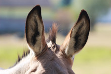 Ears Of A Donkey