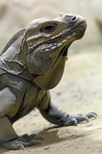 Reptile. Close-up On An Iguana Rhinoceros (Cyclura Cornuta).