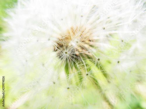 Photo タンポポの綿毛のアップ