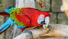 Red Macaw Eats In Zoo