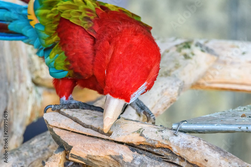Staande foto Papegaai red macaw eats in zoo