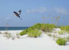 Great Blue Heron Flies Over Wh...