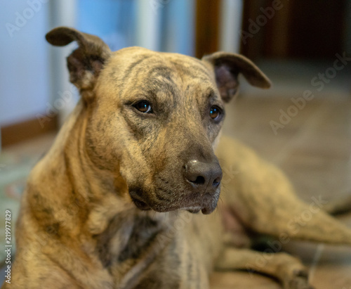 Brindle Pitbull Dog Indoors - Buy this stock photo and explore