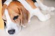 Sleepy beagle dog lying on the floor