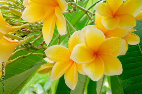Keuken foto achterwand Frangipani Yellow plumeria flowers on tree