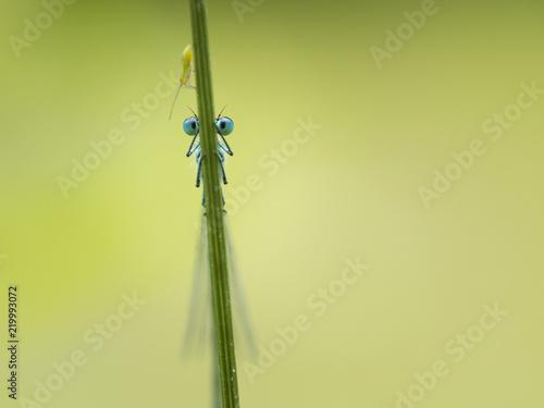 Vorderansicht auf die Augen einer blauen Libelle die sich Hinter einem Grashalm versteckt. Über der Libelle sitzt ein weiteres kleines Insekt.