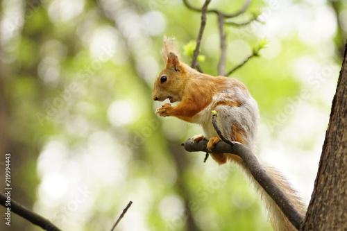 Zdjęcie XXL wiewiórka,