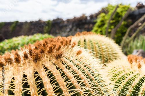 Spoed Foto op Canvas Cactus Macro view of cactus, Lanzarote, Spain