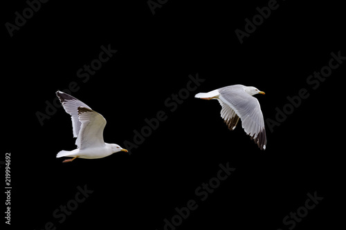 flying seagull isolated on black background