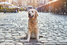 Happy Smiling Golden Retriever Young Dog On Pavement In Old City Downtown. Summer Morning Solar Bright Effect. Pets Friendly Vacations Travel Concept.