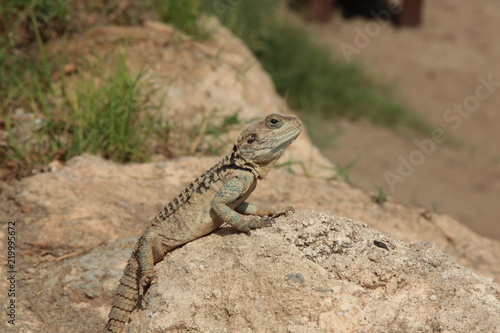 Photographie  Lizard basking in the warm Cypriot sun.