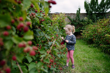 Little Girl Picking Blackberries In A Garden