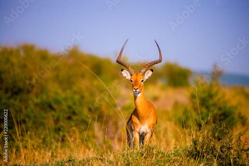 Staande foto Antilope Portrait shots of antelope, wildebeest, kudu, impala, gazelle, hartebeest in Africa