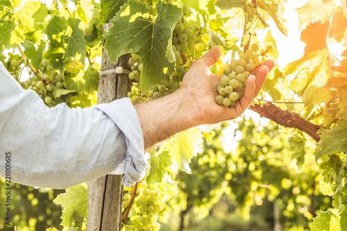 Obraz na plátne  Vineyard - white grapes in farmer's hand - agriculture