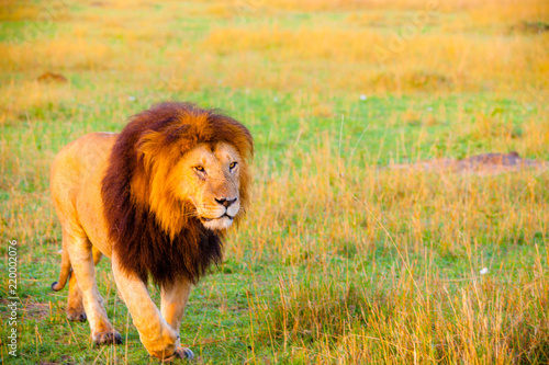 Fényképezés An African lion looking powerful in his pride land in Africa