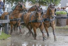 Vierspan Bruine Paarden Galopp...