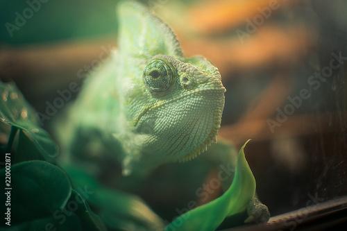 Staande foto Kameleon iguana and chameleon are in the aquarium