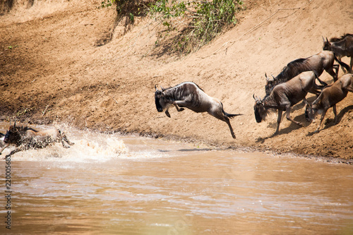 Photo  A herd of wildebeest crossing the river in Africa