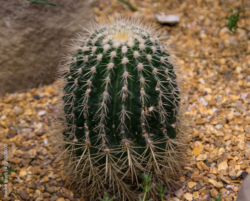 Big cactus close up, single isolated plant