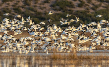 Snow Geese Taking Off From Pond At Dawn At The Bosque Del Apache National Wildlife Refuge, San Antonio, New Mexico