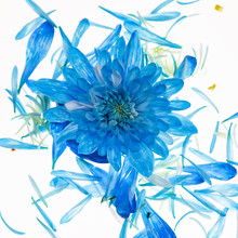 Blue Mum Flower Deconstructed With Floating Petals On White Background