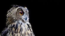 Portrait Of An Owl On A Black ...