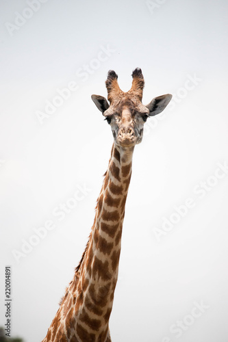 Photo  Beautiful shots of giraffes in Africa