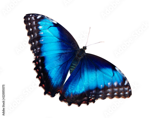 Fotografie, Obraz  Bright iridescent female blue morpho butterfly, Morpho peleides, is isolated on white background with wings wide open