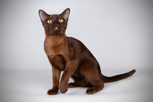 Burmese Cat On Colored Backgro...