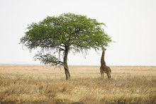 Wild Giraffe Reaching With Lon...