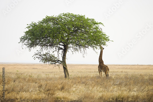 Wild giraffe reaching with long neck to eat from tall tree Wallpaper Mural